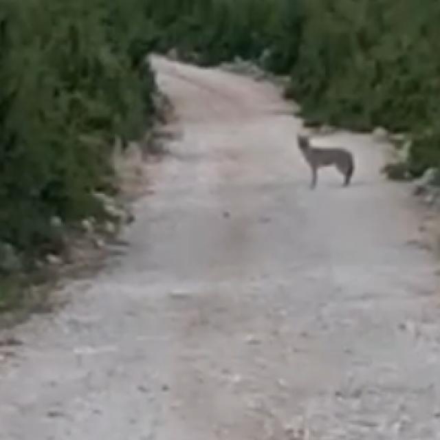 Vuk na cesti u Golubiću