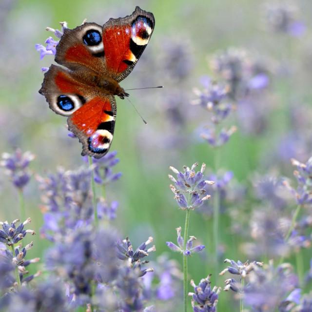 I leptiri vole lavandu