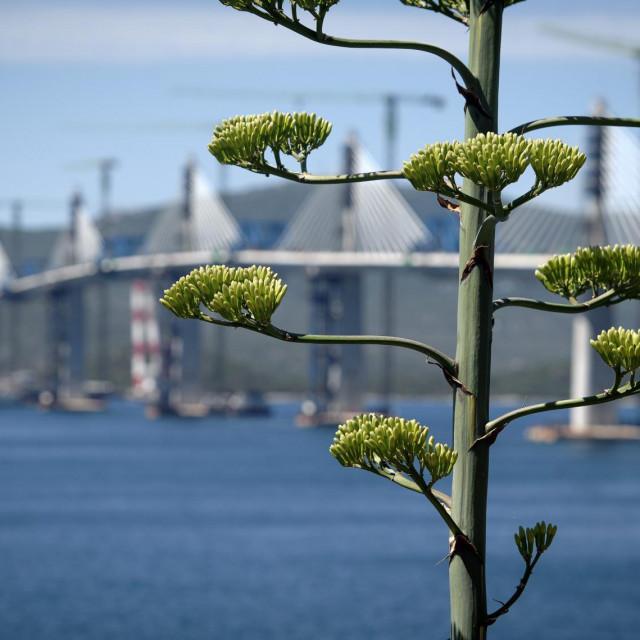Agava u cvatu uskoro odlazi, a most ostaje za generacije koje dolaze