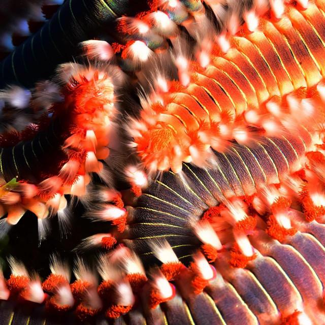 Bradati vatreni crv proždrljivi je grabežljivac koji je stigao u Jadran