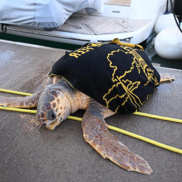 Glavata želva koja je pronađenana ulazu u zadarsku gradsku lukuje nažalost uginula