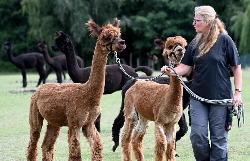 """Farma alpaka """"Alpaca nigra"""". Otkad je farma osnovana prije dvanaest godina, okupilo se stado od oko 70 životinja"""