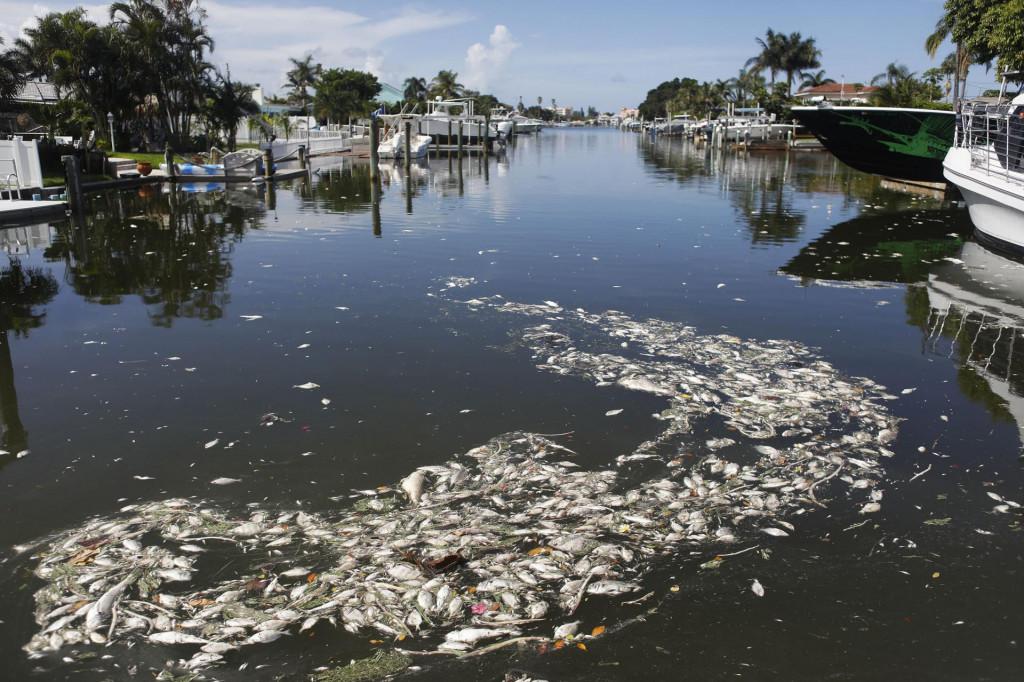 Posljedice tzv. crvene plime na obalama Floride