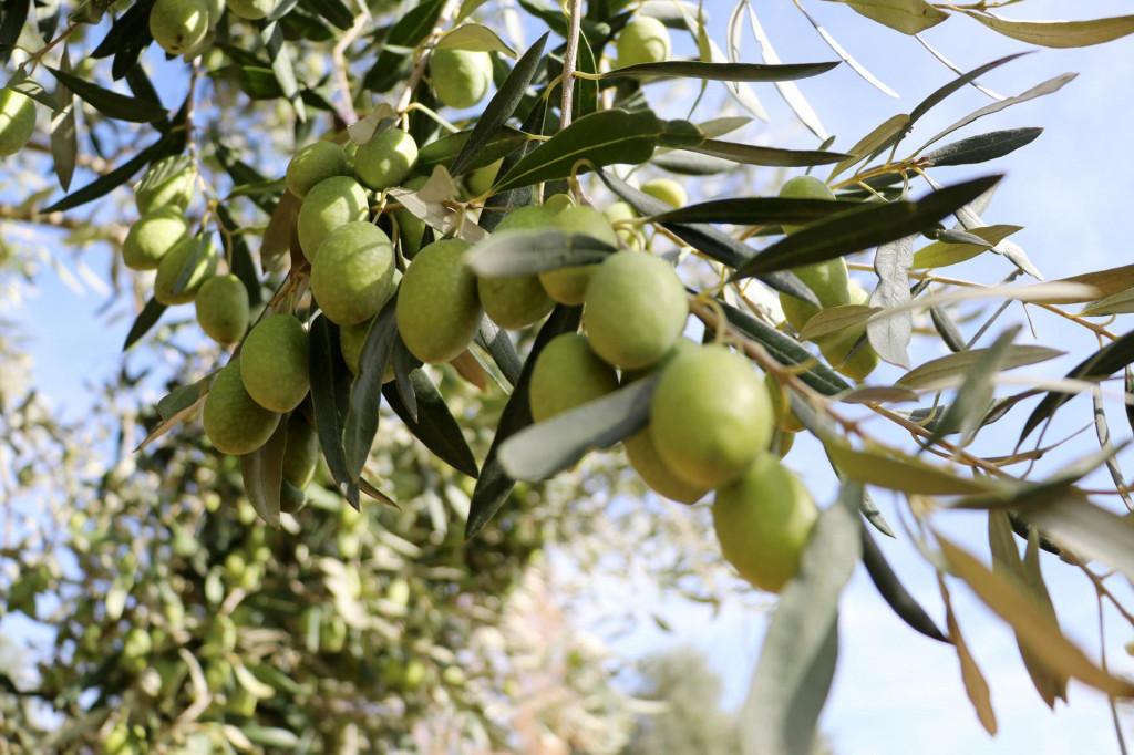 Maslinovo ulje je izuzetno dobro za zdravlje srca, no postaje štetno kada ga izložimo visokim temperaturama