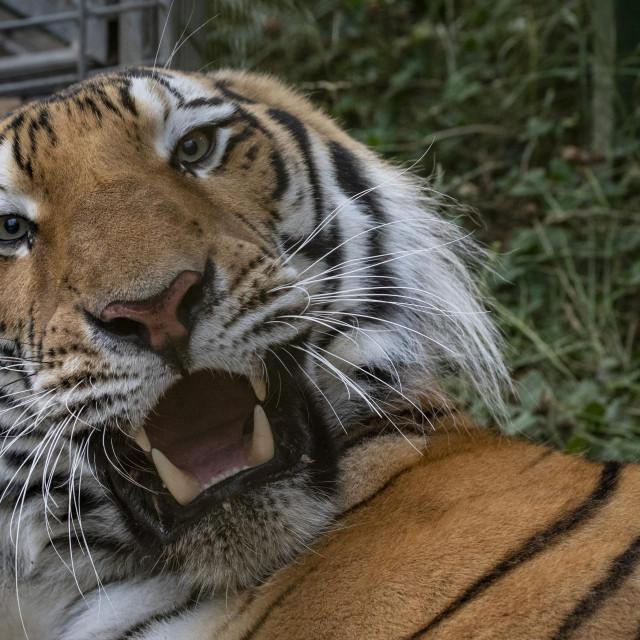 Hvarski tigar je već ušao u legendu