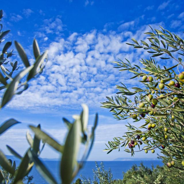 Da je bilo kiše u vrijeme kada obično pada, urod maslina bio bi veći nego lani