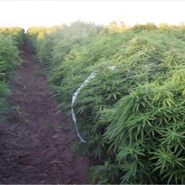 Plantaža marihuane u Islamu grčkom