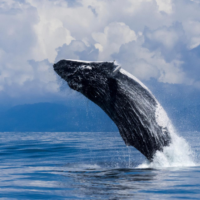 Grbavi kit u Kostariki