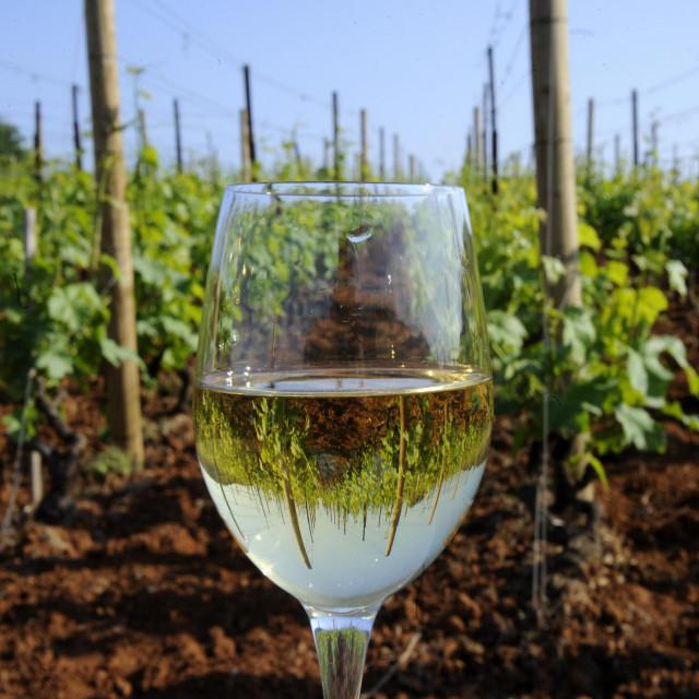 Slavni vinogradi Pošipa u Čari