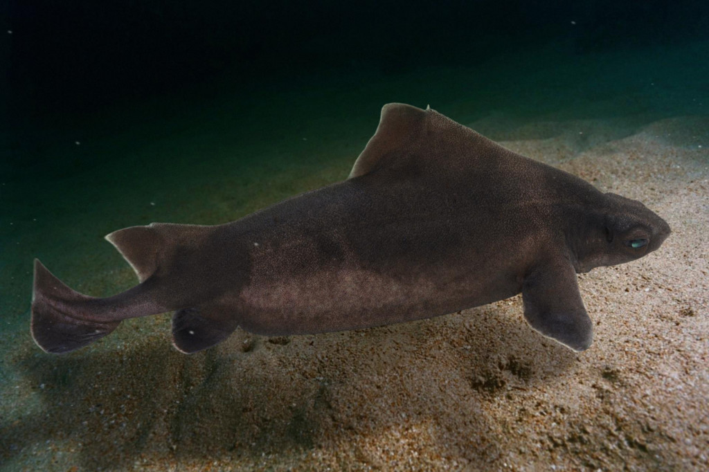 Morski pas prasac (lat. Oxynotus centrina, engl. Angular roughshark)