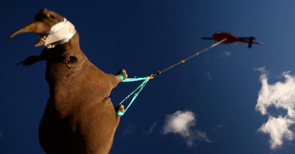 Prijevoz nosoroga helikopterom