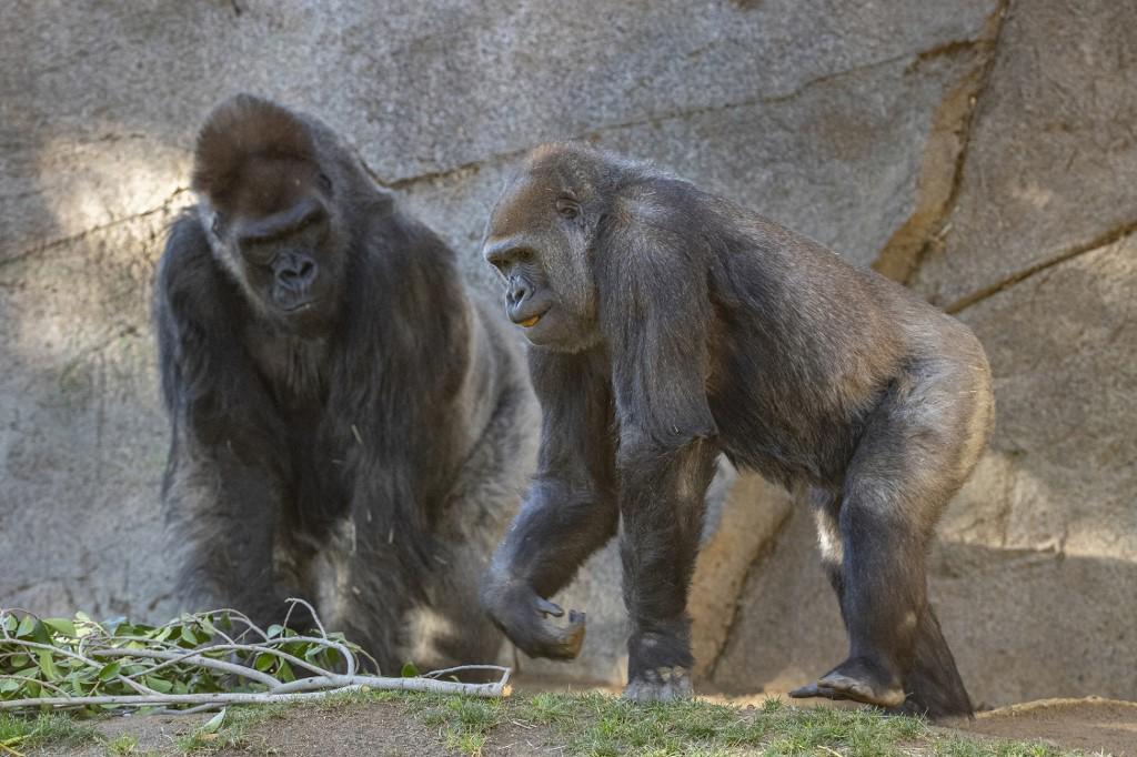 Gorile u Zoo vrtu u San Diegu potpuno su se oporavile od COVID-a