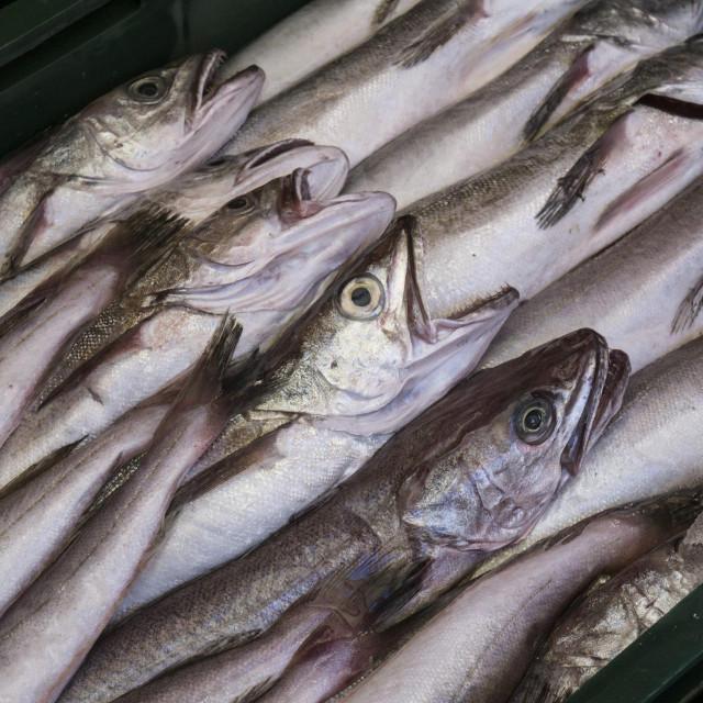 Oslić (mol) je jedna od gospodarski najvažnijih ribljih vrsta