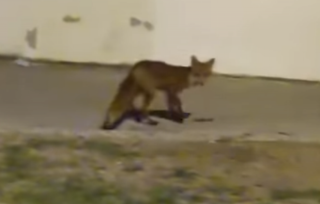 Lisica viđena na Splitu 3