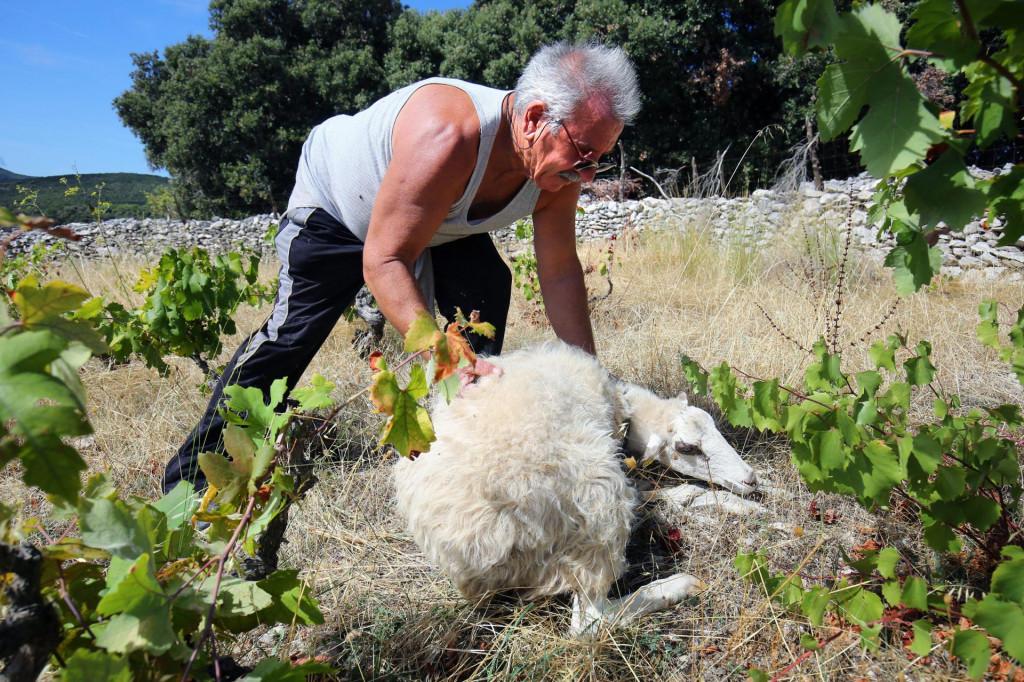 Zoran Trutanić s ovcom koja je preživjela udar groma<br />