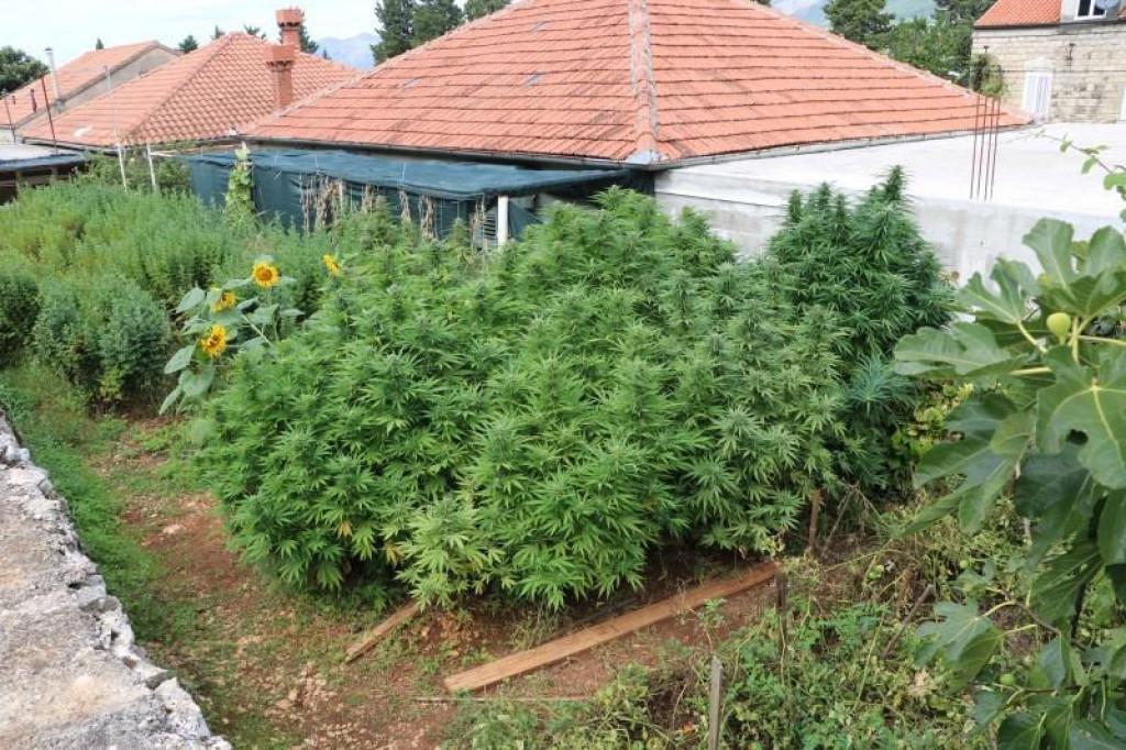 Oko obiteljske kuće zasadio je 16 stabljika indijske konoplje
