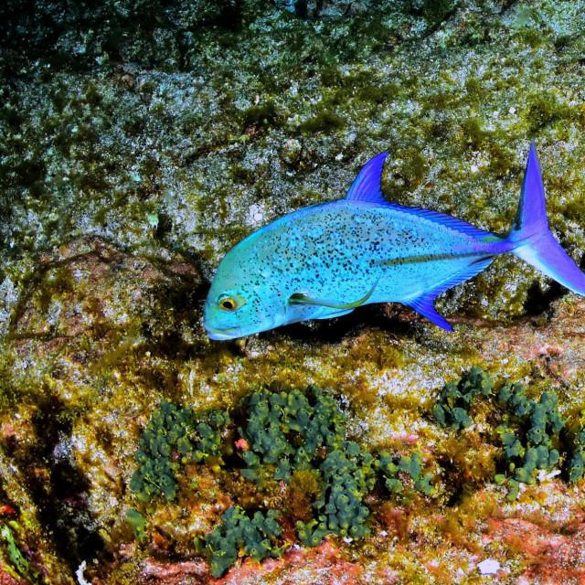 Bluefin trevally (Caranx melampygus)