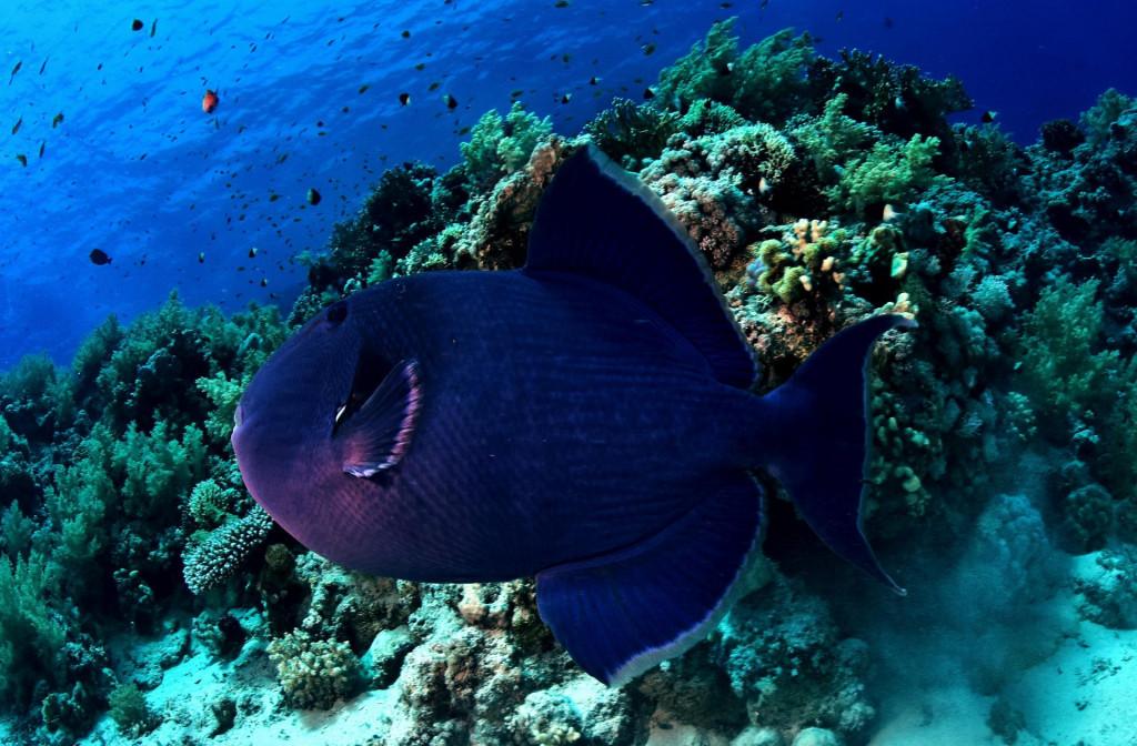 Crvenozuba riba okidač(Odonus niger)
