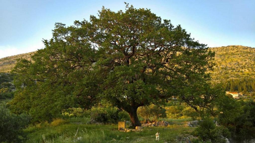 Majkovski gorostasni dub nominiran je za stablo godine