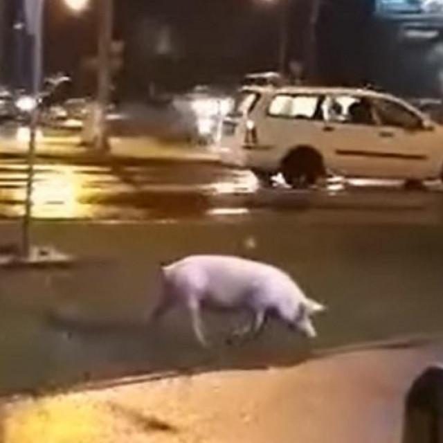 Na kružnom toku u Banjoj Luci snimljena je svinja kako bezbrižno hoda ulicom