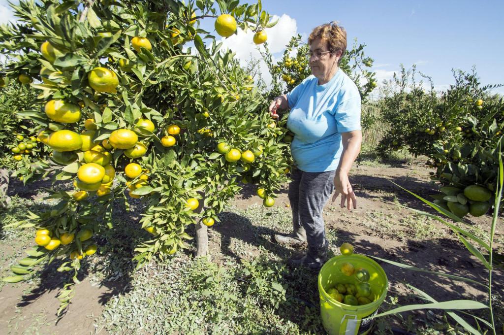 Berba mandarina u Dolini Neretve<br />