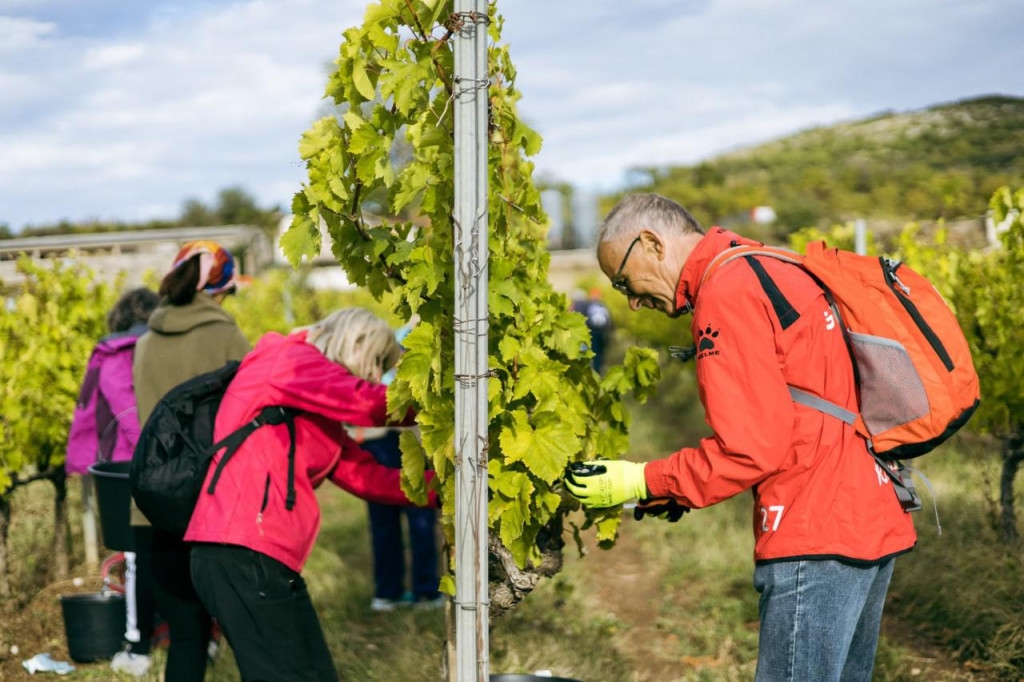 Izlet u berbu u vinograde Dalmacijavina u Petrovom polju pokazao se kao pun pogodak