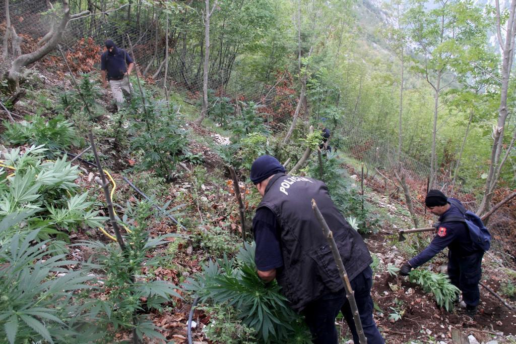 Albanski policajci sijeku polje indijske konoplje 2016. godine