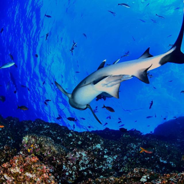 Grebenski morski pas s bijelim vrhom