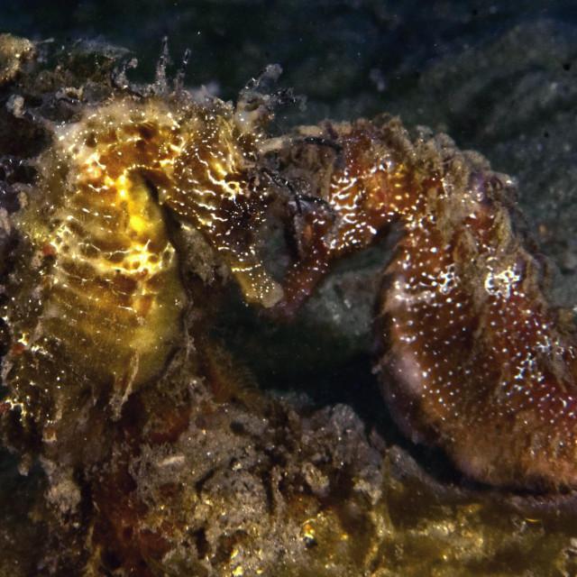 Ljubavni ples morskih konjica