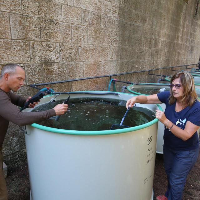 U pulskom akvariju periske se održavaju na životu u posebnim uvjetima