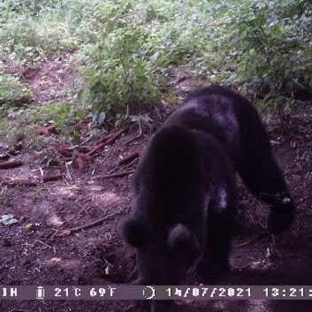 Medvjed snimljen termokamerom po danu