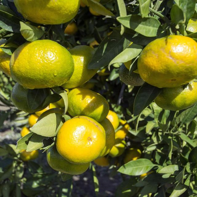 Ove godine urod mandarina je oko 40 000 tona.